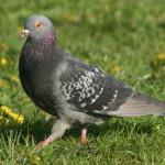 Proč si holubi zaslouží náš obdiv?