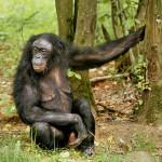 Kongo: skupina šipmanzů objevila oheň