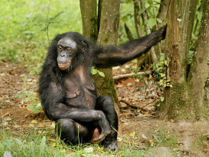Šimpanz autor: Hans Hillewaert zdroj: Wikimedia commons