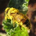 Včely elektricky dobíjí květiny