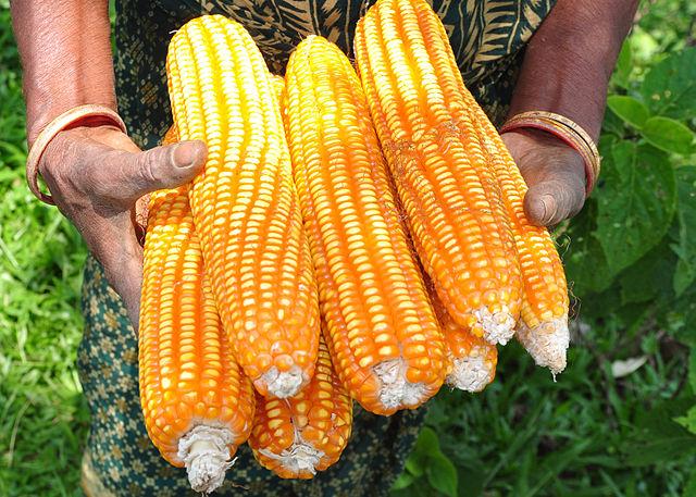 Kukuřice autor: Balaram Mahalder zdroj: Wikimedia commons