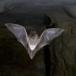 Sčítání netopýrů hlásí dobré zprávy