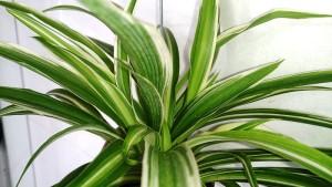 Rostlina zelenec autor: Mokkie zdroj: Wikimedia commons