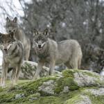 Divoká zvířata zpět v českých lesích