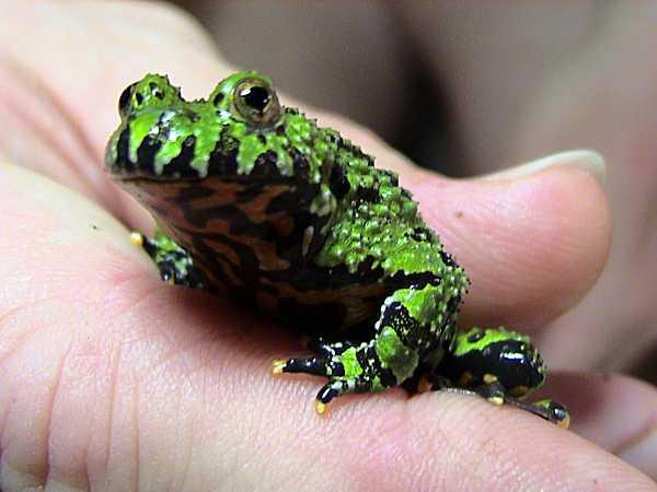 Žába kuňka východní autor: Dawson zdroj: Wikimedia commons