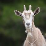 Co přináší dřevěná koza do našich životů?