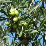 Olivový olej přináší mír Izraeli a Palestině