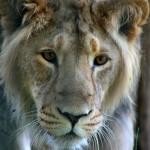 Populace lva indického na vzestupu