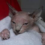 Sphynx – kočka z jiných světů
