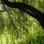 Síla vrby