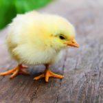 Největší producent vajec v USA přestane utrácet mladé kohouty