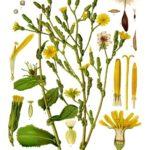 Lék proti bolesti, který se podobá opiu a vyroste i na zahrádce